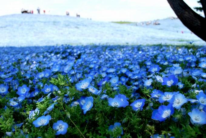 H25.04.26 ひたち海浜公園  (59).jpg