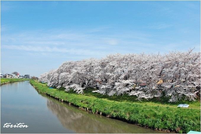 H26.04.02 さくら元荒川堤 (99).jpg